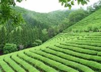 「日本人」と「緑茶」について