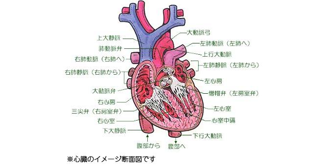 心臓イメージ図