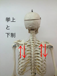 挙上:肩を挙げる動き/下制:肩を下げる動き