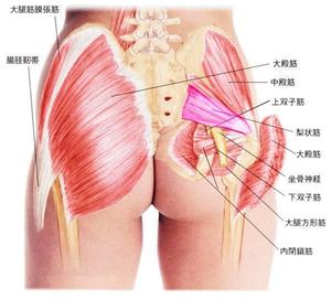 臀部筋肉図