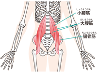 大腰筋の位置が分かるイラスト